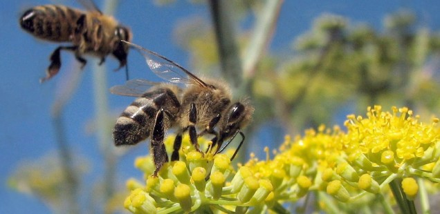 Twee bijen, één bloem